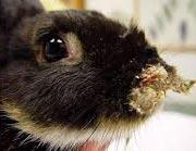 Сифилис у животных