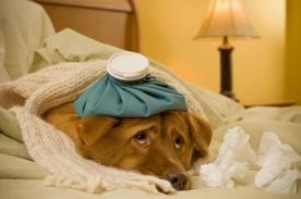 Уретрит у котов, кошек и собак, симптомы воспаления у домашних животных