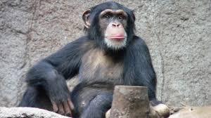 Малярия передалась людям от шимпанзе