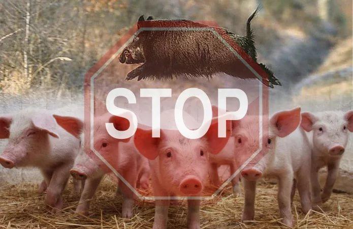 На Украине обнаружили вирус африканской чумы свиней