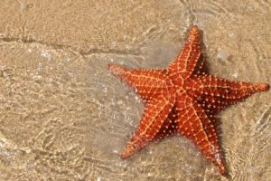 Морские звезды-мутанты не подвержены смертельным болезням