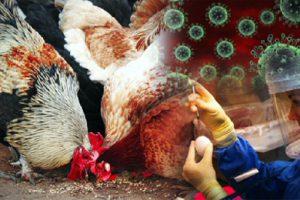 Птичий грипп – он рядом бродит