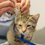 Нюансы лечения ушного клеща у кошек
