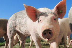 Вирус АЧС проник на калининградский свинокомплекс с высочайшим уровнем защиты