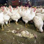 Птичьему гриппу подрезали крылья: в Татарстане готовятся снять и карантин