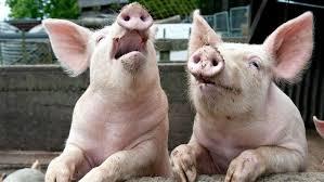 Росселхознадзор предупреждает об опасности африканской чумы свиней