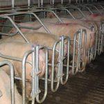 Китай поразила африканская чума свиней