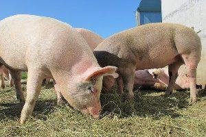Российские свиньи заразили чумой Китай
