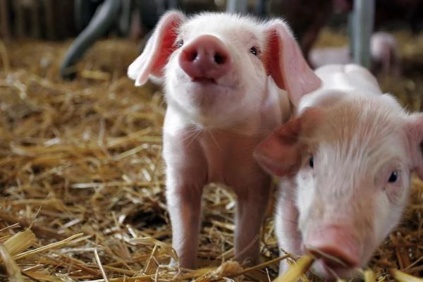 В Вулканештах сняли карантин по африканской чуме свиней