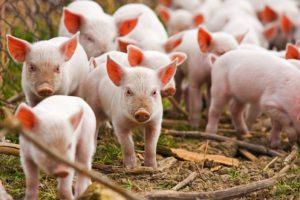 Из-за туристов, птиц и грызунов поголовье свиней на Николаевщине сократилось почти на 40%