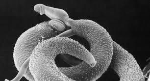 Для поиска средства против паразита ученые заражают им добровольцев