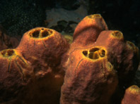 На морском дне обнаружено уникальное противораковое средство