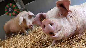 Поджелудочную железу свиньи пересадили человеку