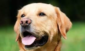 Собаки могут вынюхать СOVID с точностью до 96%