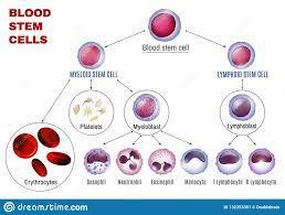 Стволовые клетки крови способны определять возбудителя инфекции и приспосабливать к нему свою функцию