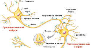 Нейроны ведут себя по-умному – «учатся» на ошибках других