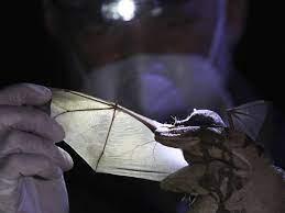 Исцеление от COVID-19 может прийти от летучих мышей